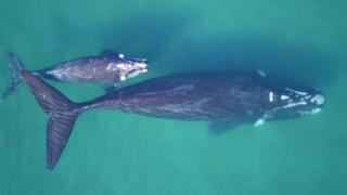 Southern right whale mother-calf pair in clear waters