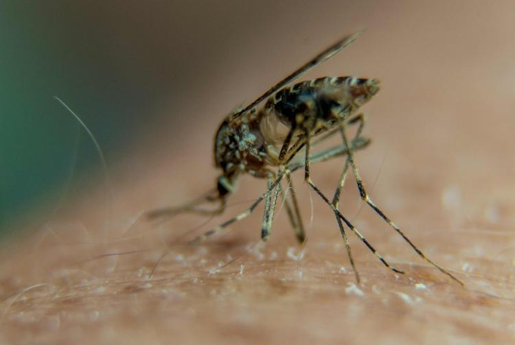 Mosquitoes are considered one of the most dangerous creatures on the planet because of their ability to spread deadly diseases like malaria Zika chikungunya or dengue fever