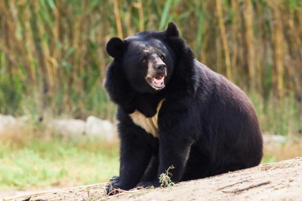 Elderly Japanese karate expert fights off Asian black bear and lives to tell the tale
