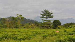 Tea gardens in Assam