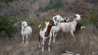 A group of goats standing on a hillside