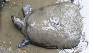 The female Yangtze giant softshell turtle in her natural environment of muddy water at the zoo in 2015