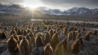 A colony of young penguin chicks wait for their parents to return with food in Andrews Bay, South Georgia