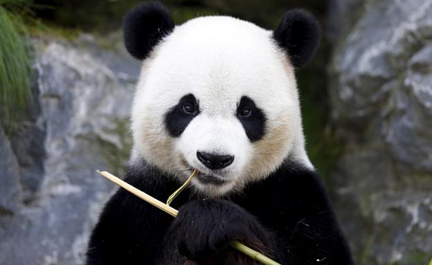 Giant pandas declared no longer endangered