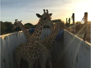 Giraffe awaiting relocation to their new home in Gadabedji Biosphere Reserve.