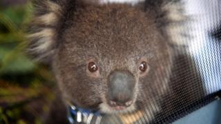 Koala, Kangaroo Island (file pic)