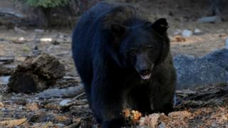 File picture of black bear at Sequoia National Park in Central California, 10 October 2009