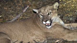 California wildlife officials say none of the mountain lions that they have studied, like P-45 picture here, are capable of attacking a human