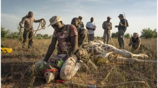 One of eight giraffes is harnessed as part of Operation Sahel Giraffe.