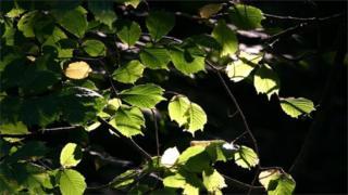 Hazel leaves (Image: BBC)