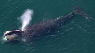 A North Atlantic right whale off the US east coast