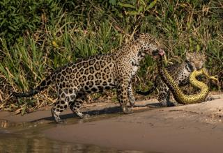 Mother jaguar and her cub