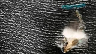 a minke whale in the Ross Sea in Antarctica